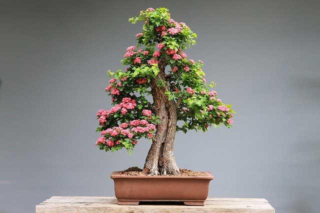 Bonsai Minibaum in Schale
